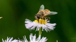Бджілка на Ромен-цвіті
