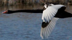 Чорний лебідь з білими крилами.