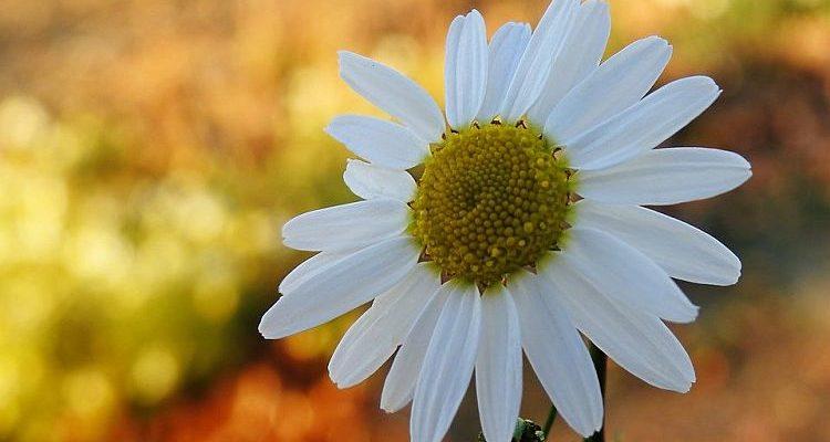 Ромашечко біла