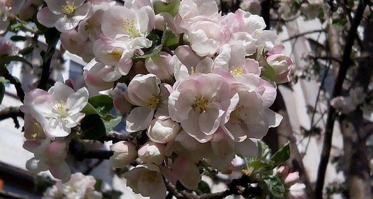 Яблунева рапсодія