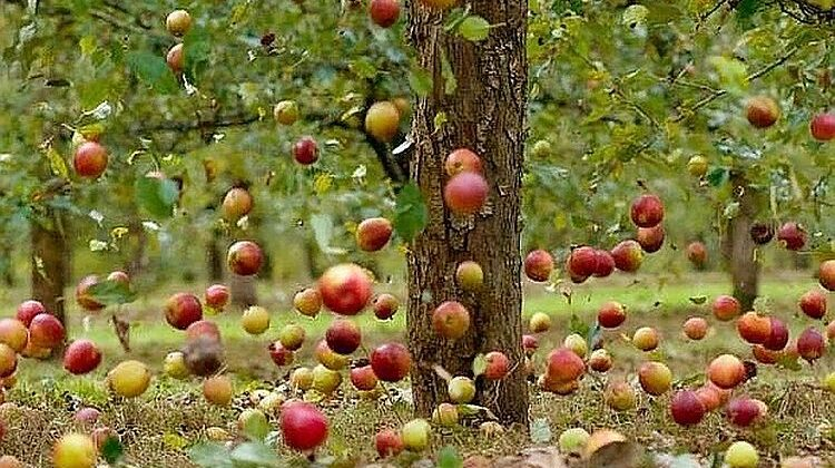 яблука осені