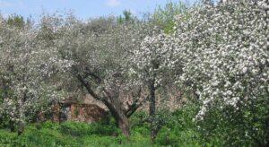 Садок вишневий